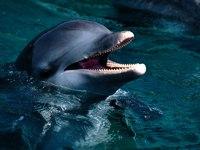Обои для рабочего стола: Дельфин