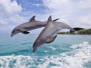 Обои Дельфины