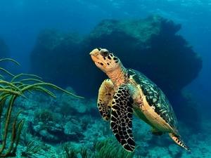 Обои Черепаха на глубине