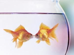 Обои Золотые рыбки