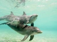 Обои для рабочего стола: Дельфины
