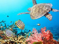 Обои для рабочего стола: Морская черепаха