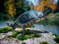 Обои для рабочего стола: Черепаха