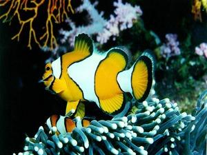 Обои Рыба-клоун